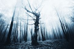 Dark twisted old tree in haunted forest. Dark twisted old giant tree in haunted forest. Haunted woods with fog on Halloween. Mysterious haunted forest with fog royalty free stock image