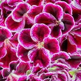 Dark velvet purple geranium or Royal Pelargonium flower like bac Stock Photos