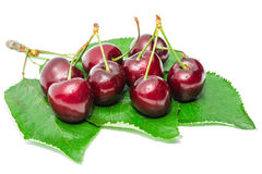 Dark vinous ripe sweet cherry juicy tasty berry. On fresh wet leafage with water drops isolated Royalty Free Stock Image