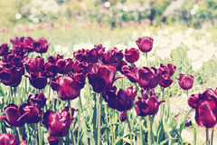 Dark vinous tulips Royalty Free Stock Photo