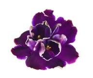 Dark violed met witte randen Stock Fotografie