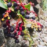 Dark violet berries Royalty Free Stock Photography