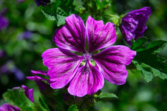 Dark violet blooming mallow. In the sun of high noon Royalty Free Stock Photography