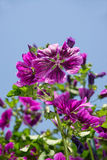 Dark violet blooming mallow. In the sun of high noon Royalty Free Stock Photos