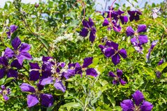 Dark violet clematis among green leaves. Violet clematis among green leaves., close up in the home garden royalty free stock images
