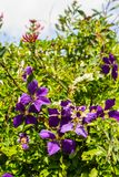 Dark violet clematis among green leaves. Violet clematis among green leaves., close up in the home garden royalty free stock photo