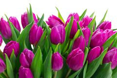 Pink fresh tulips royalty free stock photography