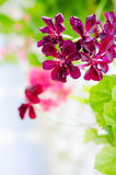 Dark violet geranium Royalty Free Stock Photos