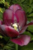 Dark violet tulip Stock Photo