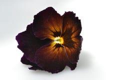 Dark violet viola Royalty Free Stock Images