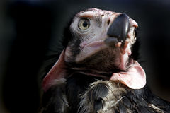 Dark Vulture Portrait Stock Photography