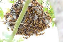 Dark-waist paper wasp Stock Photo