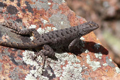 Dark Western Fence Lizard Royalty Free Stock Images
