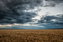 Dark wheat field. Summer landscape Royalty Free Stock Photography
