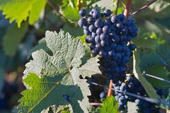 Dark wine grapes. Tasty dark wine grapes Stock Images