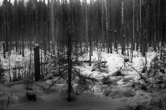 Dark winter forest shaded black-and-white. Cold depression forest landscape Royalty Free Stock Image