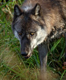 Dark wolf with an evil stare. One dark wolf with an evil stare Stock Photography