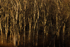 Dark Woods. Abstract view of an eerie forest Royalty Free Stock Image