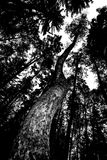 Dark woods and a twisted, ominous tree reaching the skies. A long twisted trees reaches the sky in a dark forest. The trees look threatening, almost as if they royalty free stock photography