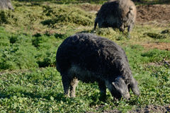 Dark wool pigs as farm animals Stock Image