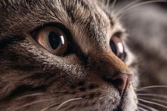 Cat`s muzzle close-up of eyes in focus. Dark yellow eye of a domestic cat closeup stock photography