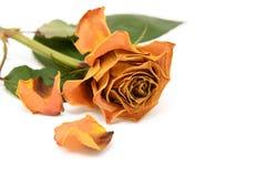 Dark yellow faded rose flower Royalty Free Stock Photos