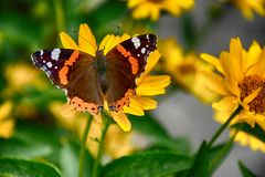 Dark yellow flowers growing on a green meadow and a butterfly o. Beautiful dark yellow flowers growing on a green meadow and a butterfly on them royalty free stock images