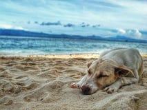 Dark Yellow Labrador Retriever Lying on the Sea Shore Royalty Free Stock Image