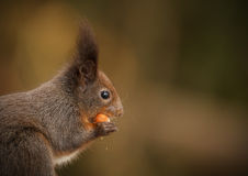 Red squirrel, darker colored Royalty Free Stock Photo
