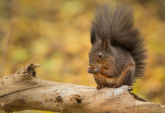 Darker red squirrel Stock Photo
