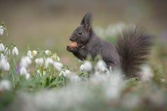 Darker red squirrel in spring flower patch Stock Photo