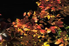 Darker Rendition of Fall Coloured, Colored leaves on a Crepe myrtle. royalty free stock photography