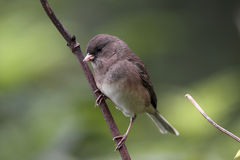 Darkeyed Junco Royalty Free Stock Images