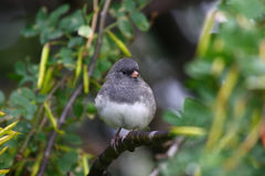 Darkeyed Junco Stock Image