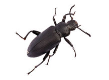 Darkling beetle Royalty Free Stock Photos