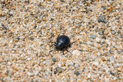 Darkling beetle on beach Stock Images