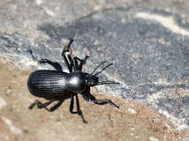 Darkling Beetle in Eastern Washington Royalty Free Stock Images