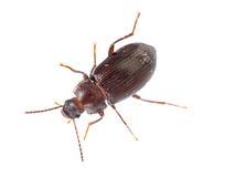 Darkling beetle isolated on white. Tenebrionidae. Royalty Free Stock Photo