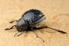 Darkling beetle on the sand Royalty Free Stock Images