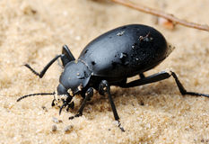 Darkling beetle on the sand Stock Image
