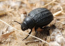 Darkling beetle on the sand Stock Photography