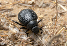 Darkling beetle on the sand Royalty Free Stock Image