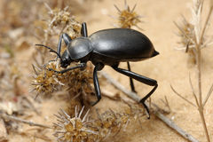 Darkling beetle on the sand Royalty Free Stock Photo
