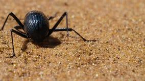 Darkling skalbaggar springer till överkanten av dyerna för att nå dimman, för den försvinner i dyn av Namiben, Namibia arkivbilder
