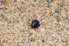 Darkling skalbagge på stranden arkivbilder