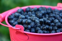Bilberry in the pink. Darkly dark blue berries of a bilberry are in a small pink bucket Royalty Free Stock Images