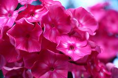 Darkly pink phlox. Very bright inflorescences of a phlox create large darkly pink flowers Royalty Free Stock Image