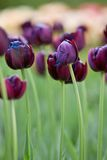 Darkly violet tulips in the garden Stock Photography