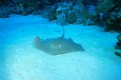 darkspotted stingray royaltyfri fotografi