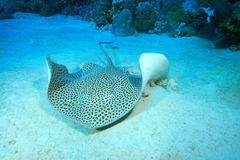Darkspotted Stingray Royalty Free Stock Photography